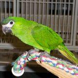 Hahns Macaw Bird