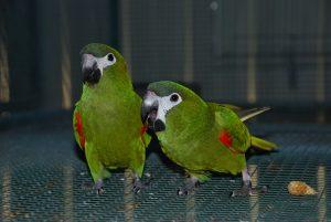 Hahns Macaw Birds