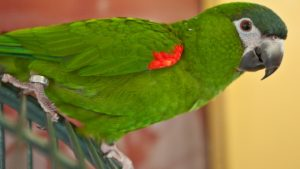 Hahns Macaw Images