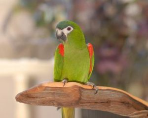 Hahns Macaw Pictures
