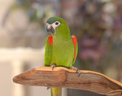 Hahn's Macaw Facts, Pet Care, Temperament, Price, Pictures
