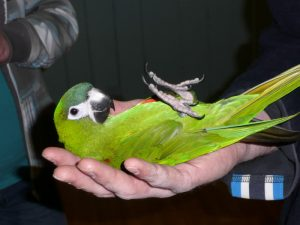 Hahns Macaw Size