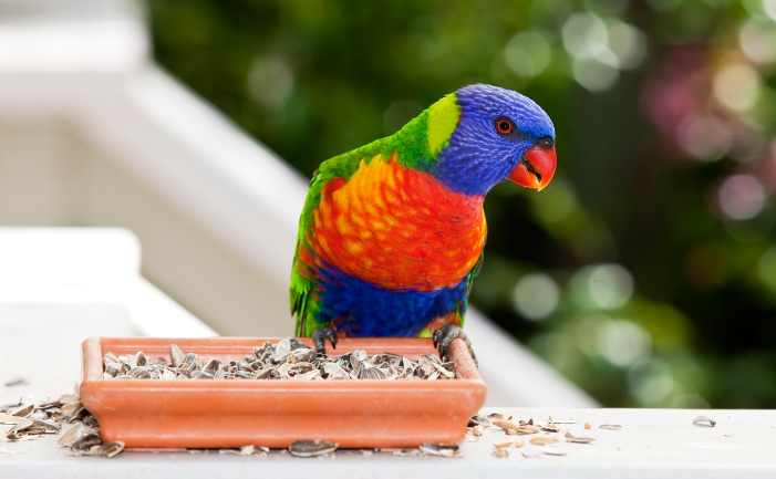 Rainbow Lorikeet Facts Pet Care Diet Price Pictures