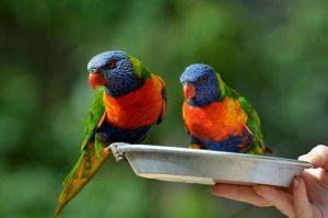 Rainbow Lorikeet Pets