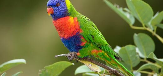Rainbow Lorikeet Pictures