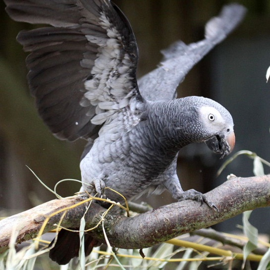 Timneh African Grey As Pets