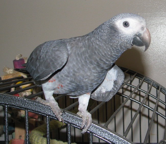 timneh african grey facts pet care personality pictures