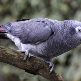 Timneh African Grey Pictures