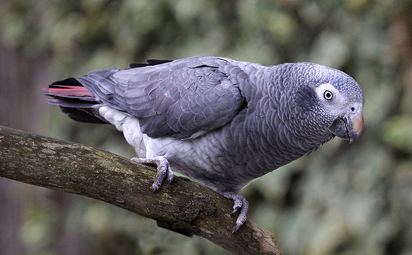 african grey parrot timneh