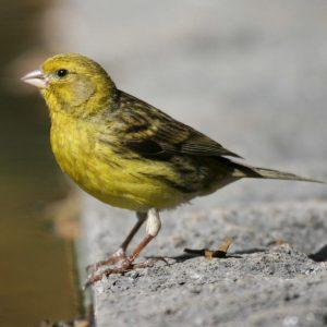 Wild Yellow Canary