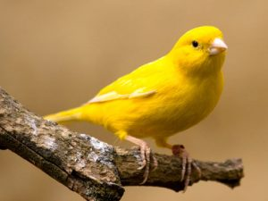 Yellow Canary Bird Images
