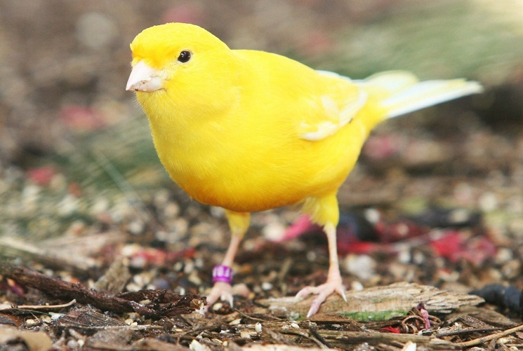 Yellow Canary Facts, Pet Care, Behavior, Diet, Price, Pictures