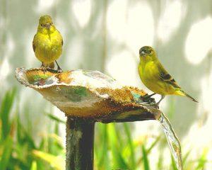 Yellow Canary Birds