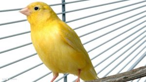 Yellow Canary Pictures