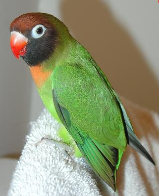 Black-Cheeked Lovebird Facts, Housing, Pet Care, Pictures ...