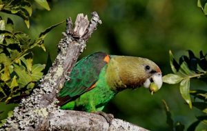 Cape Parrot Bird
