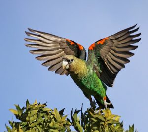Cape Parrot Flying