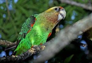 Cape Parrot Images