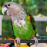Cape Parrot Pictures