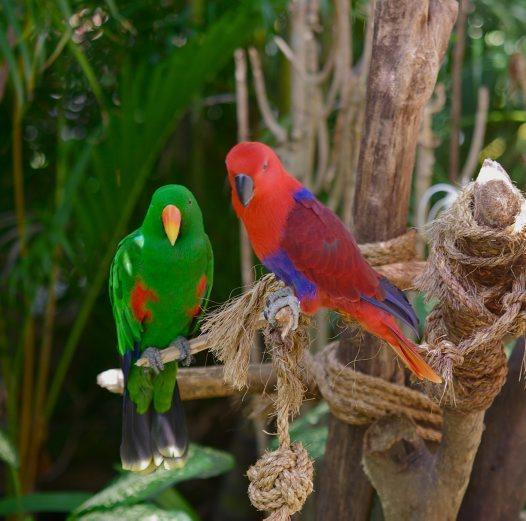 Eclectus Parrot Facts Behavior Pet Care Housing Pictures
