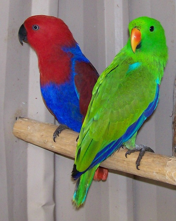 Eclectus Parrot Facts, Behavior, Pet Care, Housing, Pictures