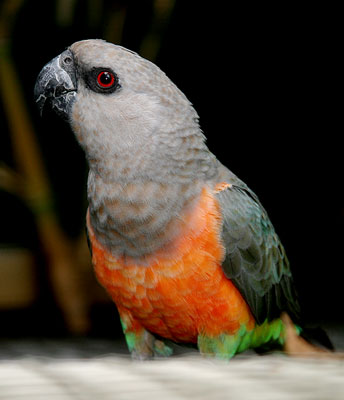 Red-Bellied Parrot Facts, Pet Care, Personality, Price ...
