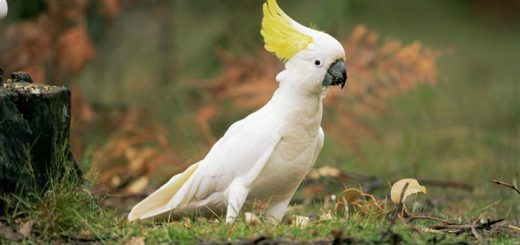 Sulphur Crested Cockatoo Bird
