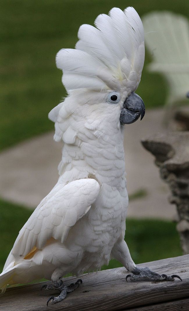 Umbrela Cockatoo Facts And Pictures 59