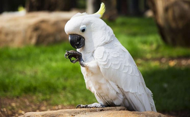 Umbrella Cockatoo (White Cockatoo) Facts, Pet Care, Pictures ...