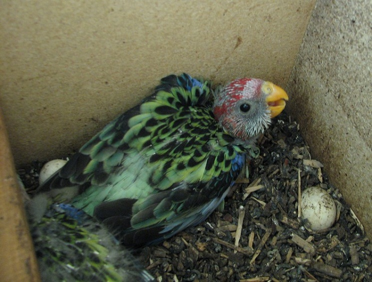 Eastern Rosella Facts, Mutations, Pet Care, Behavior ...