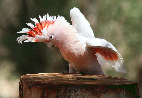 Major Mitchell S Cockatoo Or Pink Cockatoo Facts Pet Care