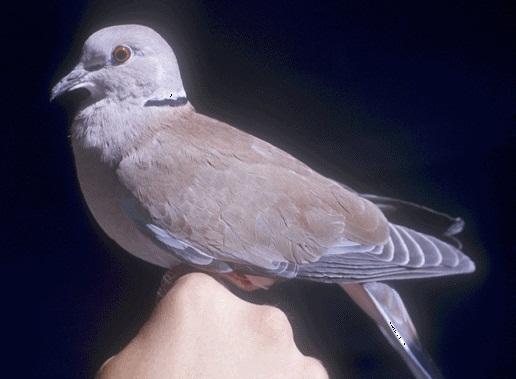 Ringneck Dove Facts, Pet Care, Behavior, Diet, Price ...