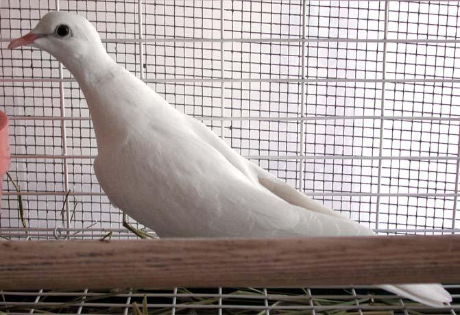 6 tácticas de paloma común