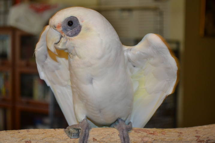 Bare-Eyed Cockatoo Facts, Pet Care, Behavior, Feeding, Pictures ...