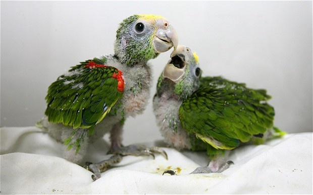 Double Yellow Headed Amazon Facts Care As Pets Pictures