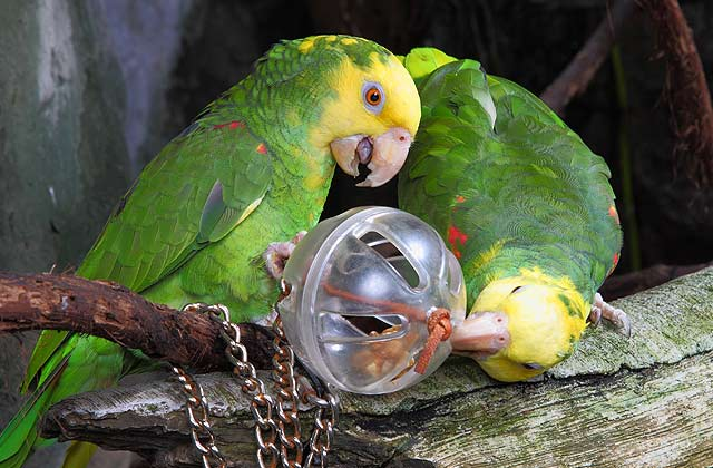 Double Yellow-Headed Amazon Facts, Care as Pets, Pictures ...