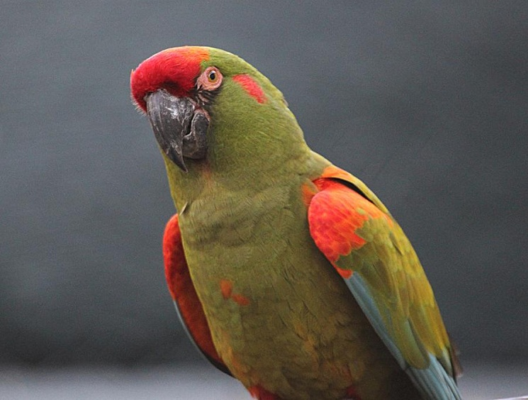 Red Fronted Macaw Facts Care As Pets Temperament Price