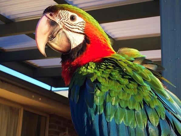 Macaws for Sale  birdbreederscom