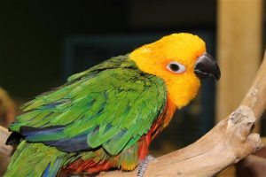 Jenday Conure Facts Pet Care Diet Behavior Price Pictures
