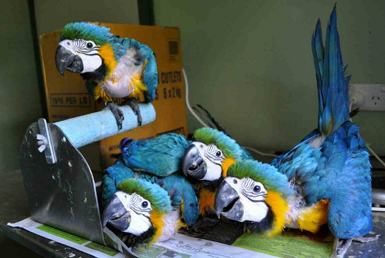 Blue And Gold Macaw Facts Care As Pets Pictures