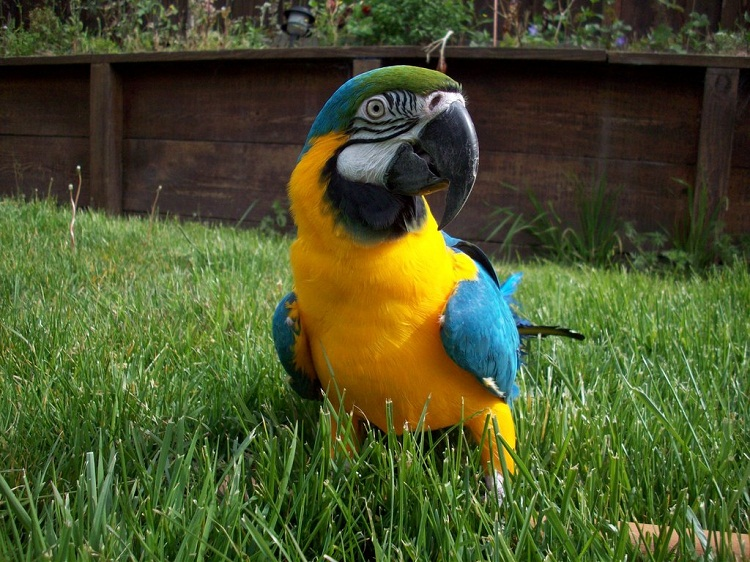 Wing Gold >> Blue and Gold Macaw Facts, Care as Pets, Pictures