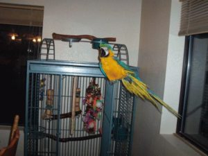 Blue and Gold Macaw Pet