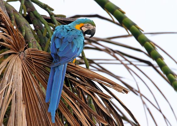 Blue macaws in the wild