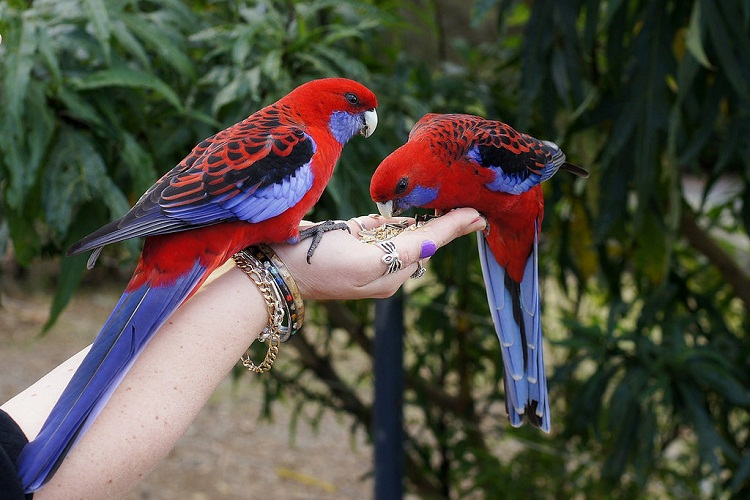 crimson rosella facts care as pets diet price pictures