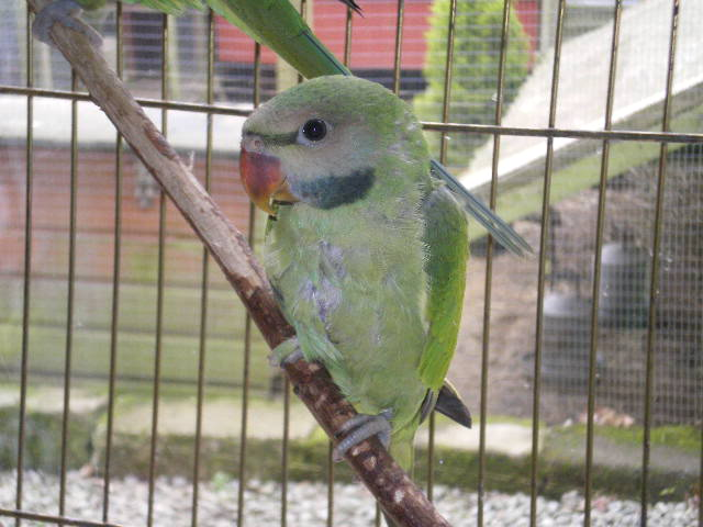 Mustached Parakeet Facts, Care as Pets, Temperament, Pictures
