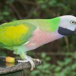 Yellow-Chevroned Parakeet Facts, Care as Pets, Price, Pictures