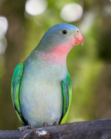 Princess Parrot Facts, Care as Pets, Personality, Pictures