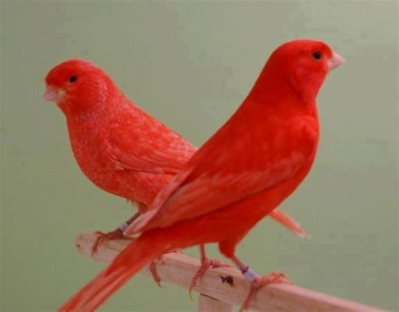 Red Factor Canary Facts, Care as Pets, Housing, Pictures