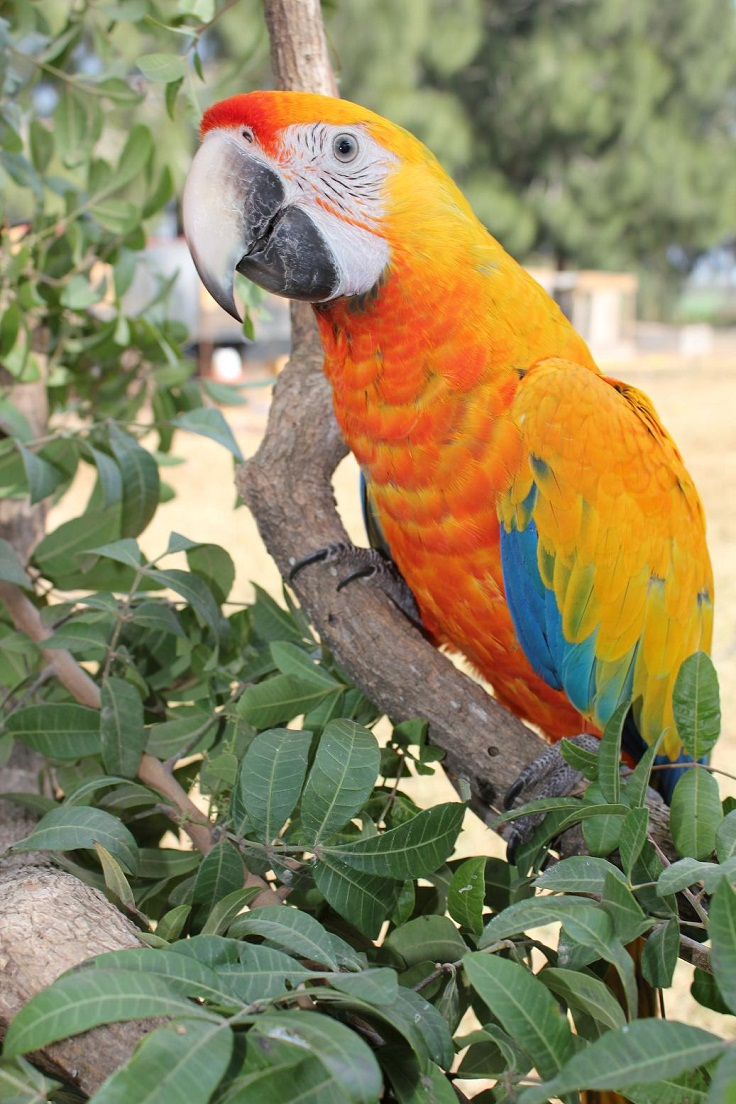 Camelot Macaw Facts, Care as Pets, Feeding, Care, Pictures