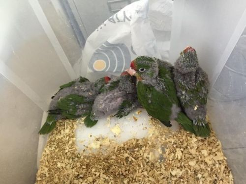 Cherry Head Conure Facts Care As Pets Housing Pictures
